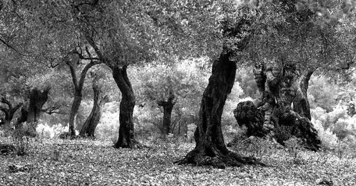 El paisatge fantasmagòric de les oliveres a les possessions mallorquines.  © Fotografia de Carles Domènec